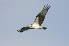 Falco del Osprey durante il volo Fotografia Stock