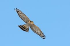 Falco del passero (nisus del accipiter) Fotografia Stock Libera da Diritti