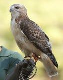 Falco del Redtail Fotografie Stock Libere da Diritti
