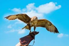 Falco del ritratto sui guanti del falconiere Fotografie Stock Libere da Diritti