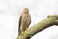 Falco del ` s del bottaio Fotografia Stock