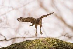 Falco del ` s del bottaio Fotografia Stock Libera da Diritti