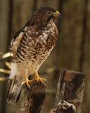 Falco del ` s del bottaio con un posto piacevole a resto Fotografie Stock