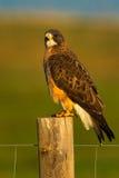 Falco del ` s di Colorado Swainson Fotografie Stock Libere da Diritti