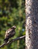 Falco del ` s di Swainson fotografia stock