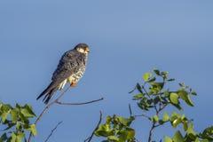 Falco dell'Amur nel parco nazionale di Kruger, Sudafrica immagine stock