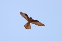 Falco dell'Eleonora Immagini Stock