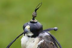Falco dell'ibrido del lanner e di straniero Fotografia Stock