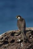 Falco della Regina. Falco Eleonorae stock photo