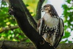 Falco della Rosso-coda immagine stock libera da diritti
