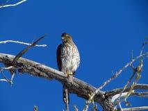 Falco della Rosso-coda Fotografia Stock