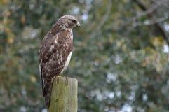Falco della Rosso-coda Fotografie Stock Libere da Diritti