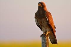 Falco dello Swainson appollaiato Fotografie Stock