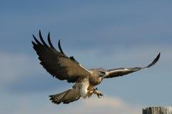 Falco dello Swainson maschio durante il volo Immagini Stock Libere da Diritti