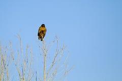 Falco dello Swainson, swainsoni del Buteo immagini stock