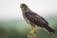 Falco dello Swainson (swainsoni del Buteo) Fotografie Stock