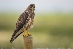 Falco dello Swainson (swainsoni del Buteo) Immagine Stock Libera da Diritti