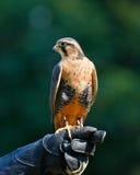 Falco di Aplomado Fotografia Stock Libera da Diritti