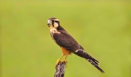Falco di Aplomado Fotografia Stock