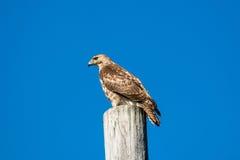 Falco di Brown Fotografia Stock Libera da Diritti