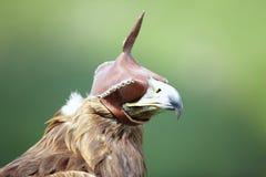 Falco di caccia Immagini Stock Libere da Diritti