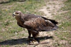 Falco di caccia Immagini Stock