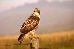 Falco di caccia Fotografie Stock Libere da Diritti