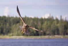Falco di caccia Fotografie Stock