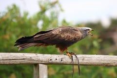 Falco di grido Fotografie Stock