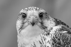 Falco di Gyr Fotografia Stock Libera da Diritti