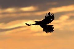 Falco di Harris s (unicinctus di Parabuteo). Fotografie Stock Libere da Diritti