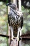 Falco di Javan Fotografia Stock Libera da Diritti