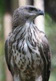 Falco di Javan Immagine Stock Libera da Diritti