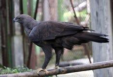 Falco di Javan Fotografia Stock