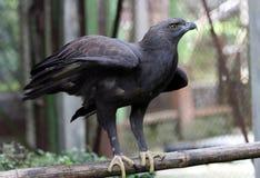Falco di Javan Immagini Stock Libere da Diritti