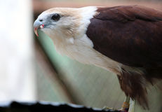 Falco di Javan Fotografie Stock