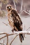 Falco di Juvinile Galapagos con lo sguardo fisso di piercing Fotografia Stock