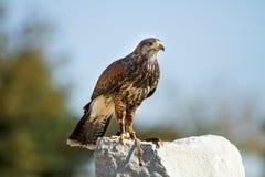 Falco di Lage su una roccia Fotografia Stock