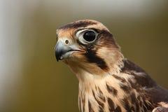 Falco di Lanner. Fotografia Stock Libera da Diritti