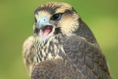 Falco di Lanner Immagine Stock