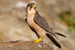 Falco di Lanner Immagini Stock