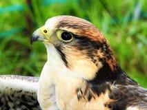 Falco di Lanner Fotografie Stock
