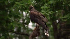 Falco di marrone di straniero che esamina preda Vicino su del falco del saker isolato su fondo verde all'aperto archivi video