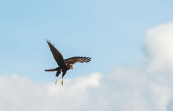 Falco di palude (aeruginosus de cirque) Image stock
