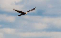 Falco Di Palude (Cyrkowy aeruginosus) Zdjęcie Royalty Free