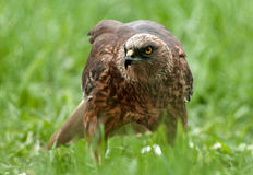 Falco di palude - maschio (aeruginosus del circo) Fotografia Stock