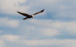 Falco di Palude (Zirkus aeruginosus) lizenzfreies stockfoto