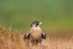 Falco di Peregrin Immagine Stock Libera da Diritti