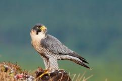 Falco di Peregrin Immagini Stock