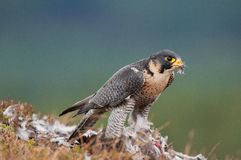 Falco di Peregrin Fotografie Stock Libere da Diritti